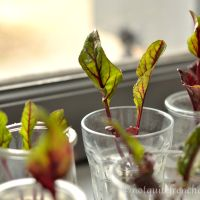 How to grow (pinkish) greens easily from beet scraps