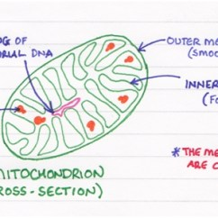 Mitochondrion Structure Diagram Opel Corsa Radio Wiring Of Mitochondria Not Rocket Surgery