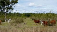 Cattle feeding Fodder Bushes