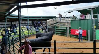 Bull Sale