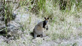 Young Pretty Faced Wallaby