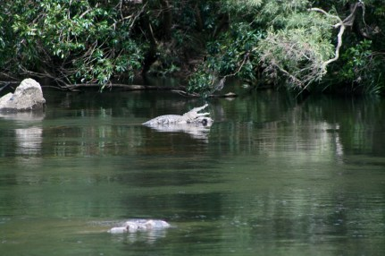 Saltwater croc at Bloomfield Falls