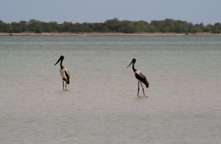 Jabirus (Black-necked storks)