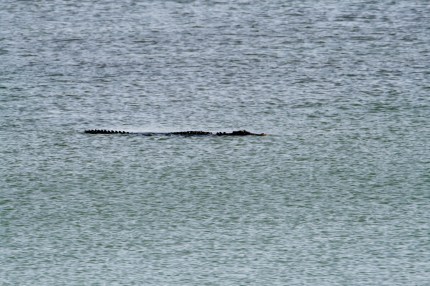 Our friend - Saltwater Croc.