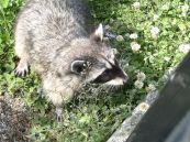 Canada Racoon