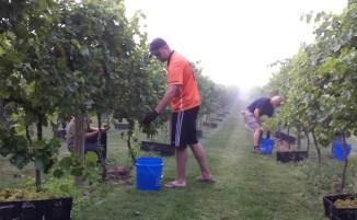 Vineyards - Murphy, NC - 2014-Savignon Blanc-Harvest