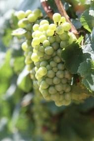 Vineyards - Murphy, NC - #19