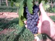 Vineyards - Murphy, NC - #26
