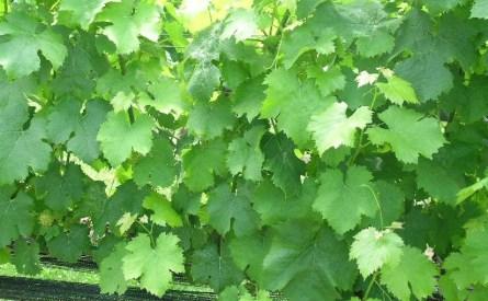 Vineyards - Murphy, NC - #13