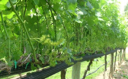 Vineyards - Murphy, NC - #11