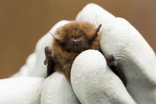 Common pipistrelle. Yes they really are that small. Photo: Michael Walker
