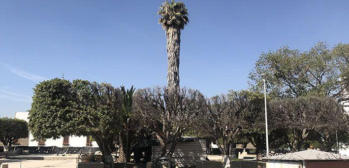 Árboles del jardín Miguel Hidalgo,