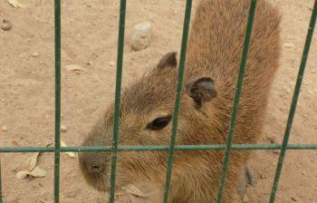 osos capibara-notus3