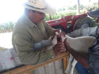 Jesús Chuche García aretando una borrega