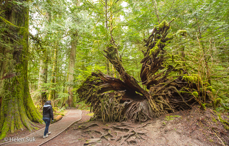 macmillan provincial park, bc road trip, uprooted tree, cathedral grove, vancouver island, british columbia