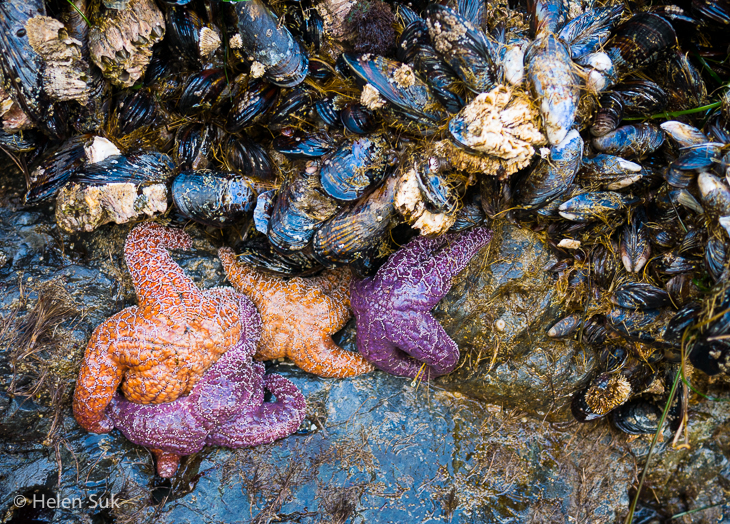 starfish and mussels on north chesterman beach in tofino bc