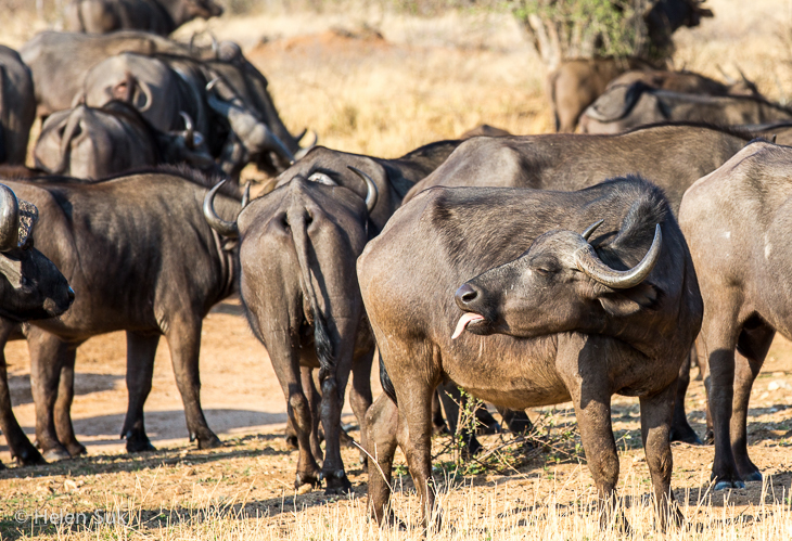 african buffalos in timbavati game reserve south africa