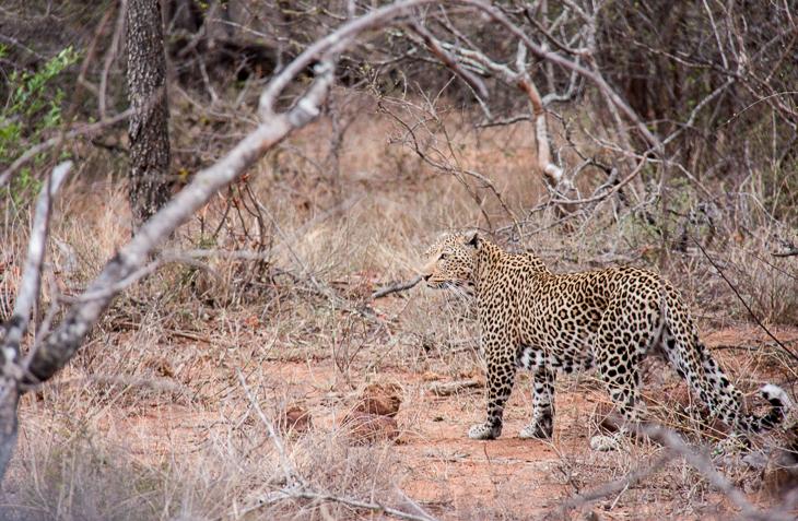 leopard in timbavati private game reserve south african safari