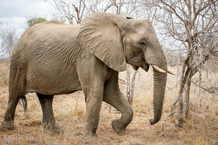 elephant sighting while on safari south africa
