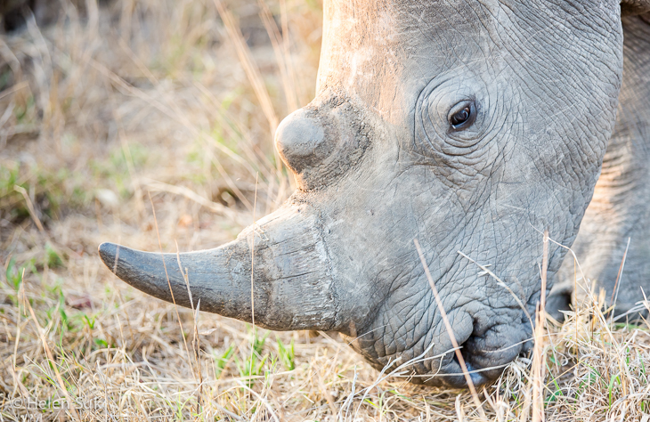 close-up of a white rhino in timbavati game reserve south africa