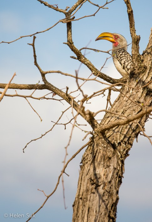 yellow-billed hornbill in timbavati private game reserve south africa