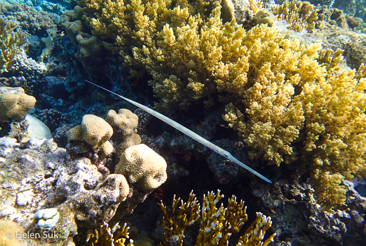 cornetfish red sea, aqaba, japanese garden