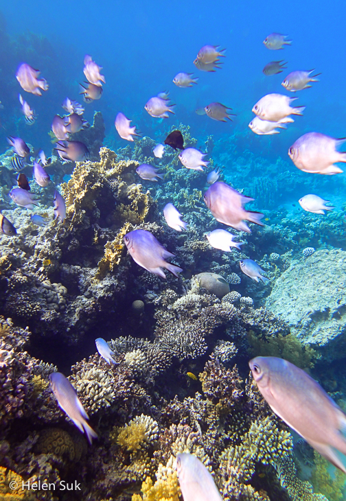 red sea fish, aqaba, japanese garden