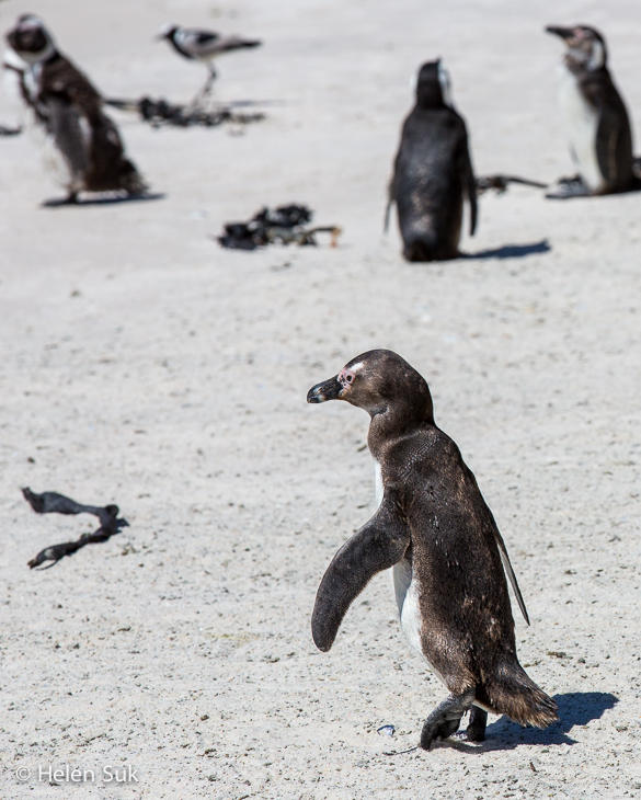 an african penguin waddles to the sea at boulders beach