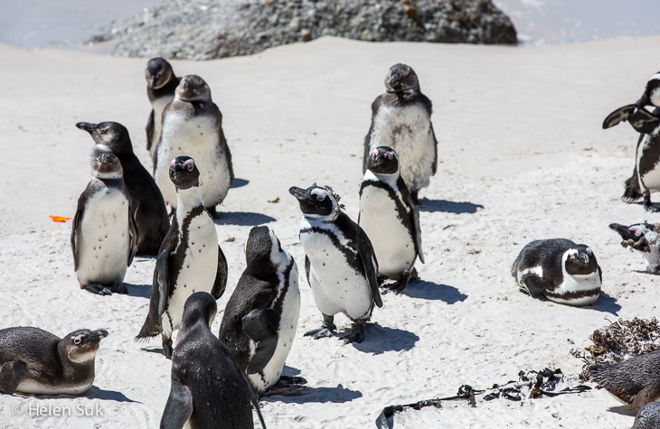south african penguins on boulders beach south africa