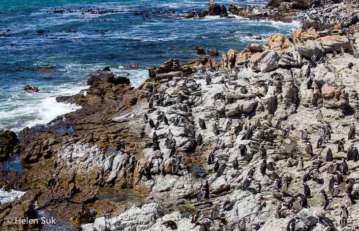 colony of african penguins at bettys bay south africa