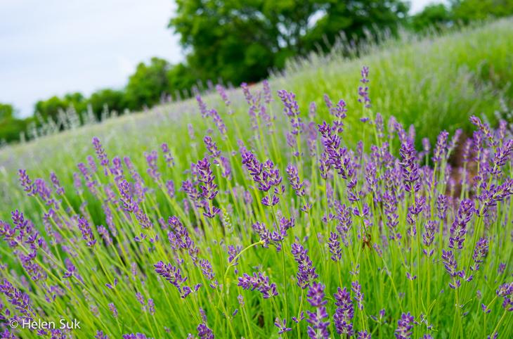 prince edward county lavender farm