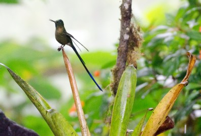 Violet-tailed Sylph Hummingbird.