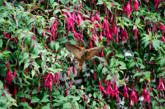 This is a Shining Sunbeam Hummingbird in the fuschias.
