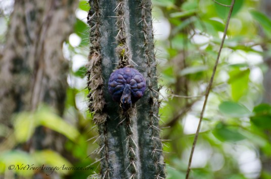 The dark purple fruit that will soon explode into neon pink and be eaten by the local wild birds.