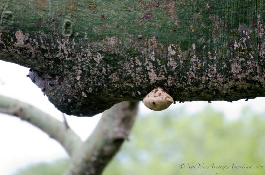 Ants or termites make their home on the wide branch of a large Cieba tree.