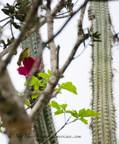 A Guira Tanager enjoying lunch - notice that the fruit of this cactus is full blown and look more like a flower blossom that juicy, sticky fruit.