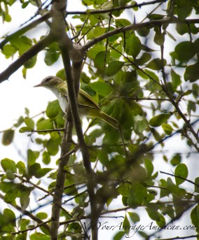 Extreme brush made it hard to get clear pictures of this Guira Tanager.