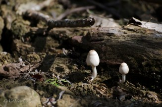 Mushrooms pushing through the ground hint at recent rain.