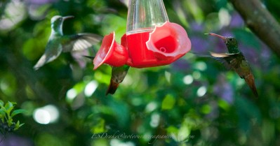 Some hummingbirds are willing to share feeders; others not so much.