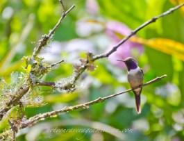 Purple-throated Woodstar Hummingbird.