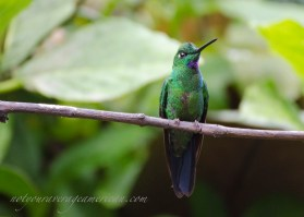 Green-crowned Brilliant (square tail is the give away)