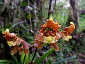 Wild chytochilum seratum, often called the Saw Toothed Flower in English.