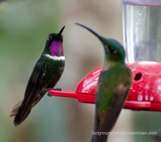 Beautiful color on this Gorgeted Sunangel Hummingbird.