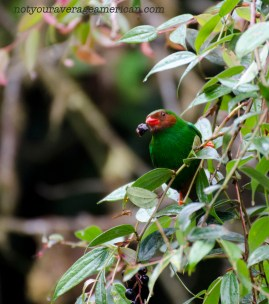 Grass-green Tanager enjoys breakfast.