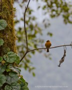 A Cinnamon Flycatcher seen from the Lodge parking lot.