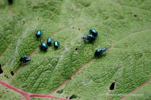 This was the season of the metallic blue bug at Bellavista. They were everywhere!
