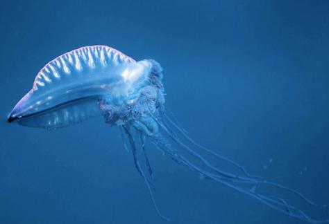 La redoutable méduse Physalis