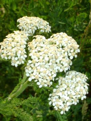 Yarrow (Achillea millefolium) for heart health