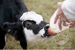 Calf formula contains animal fate for good health