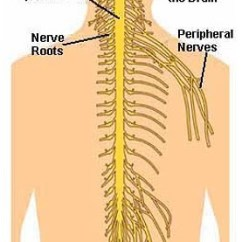 Nerves In Neck And Shoulder Diagram 2003 Lincoln Navigator Engine Pain Pinched Chiropractor Burke Va Nova The Above Come Off Spinal Cord Those Region Go Down Arm Low Back Legs
